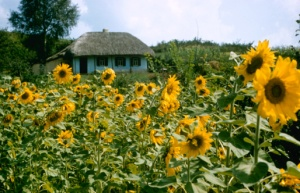 ukraine-sunflowers
